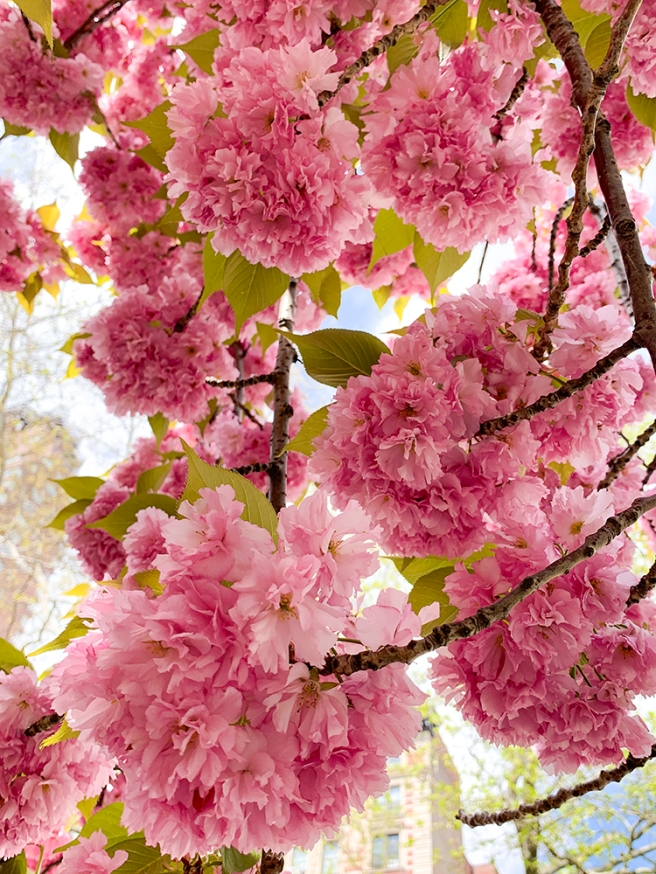 Kazan Cherry Tree in Central Park in New York, NY. Photo by Alyson Goodman.