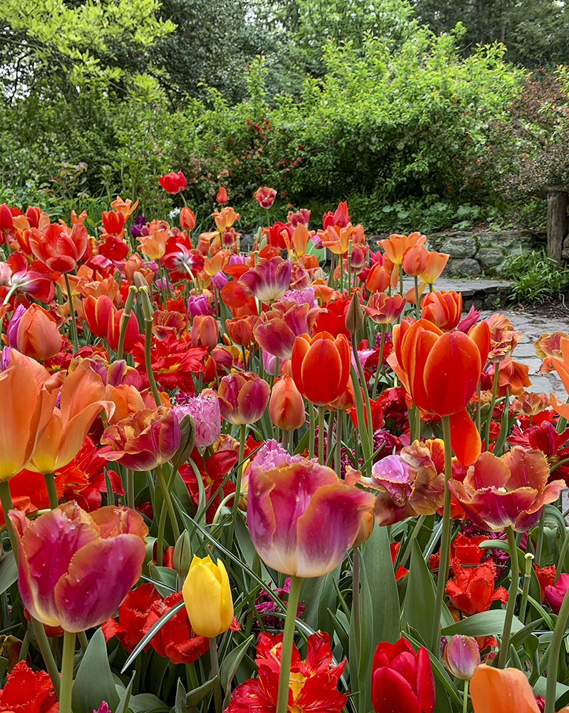 Tulips at the Shakespeare Garden in Central Park, New York, NY. Photo by Alyson Goodman.