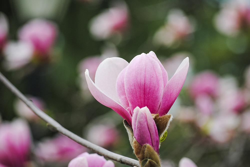 Magnolia tree at Clark Botanic Garden in Albertson, NY. Photo by Alyson Goodman.