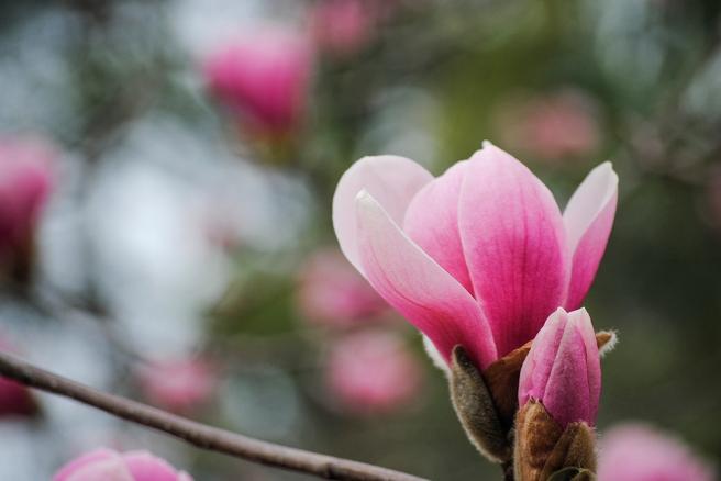 Magnolia tree at Clark Botanic Garden in Albertson, NY. Photo by Alyson Goodman.