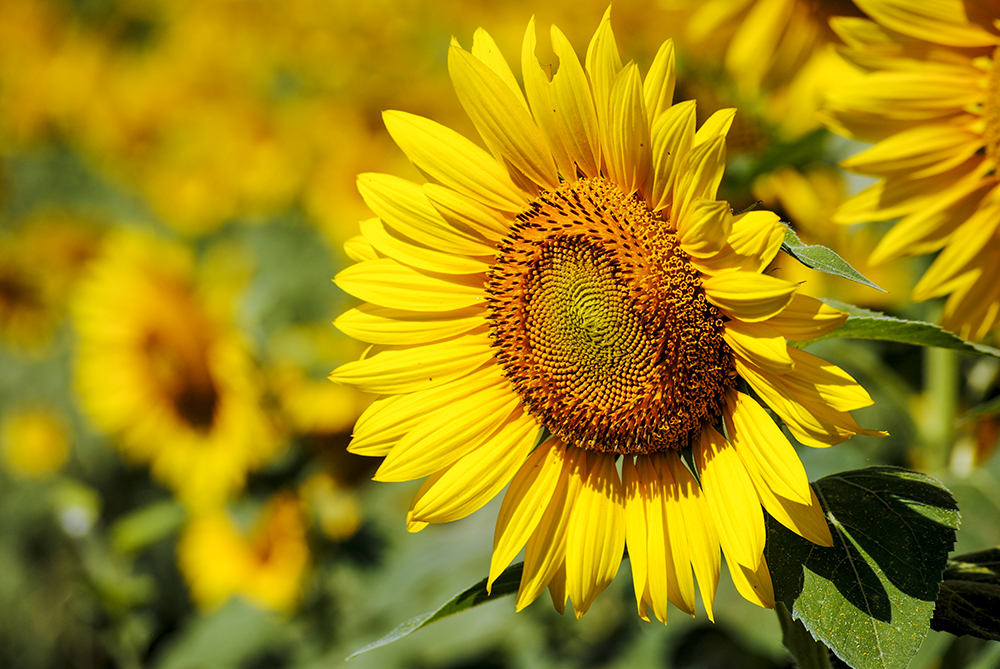 Sunflowers at Martin Sidor Farms run by North Fork Chips in Mattituck, NY. Photo by Alyson Goodman.
