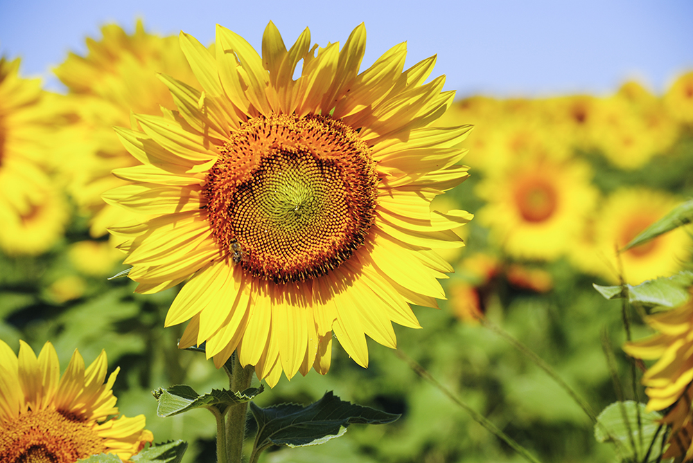 Sunflower at Martin Sidor Farms run by North Fork Chips in Mattituck, NY. Photo by Alyson Goodman.