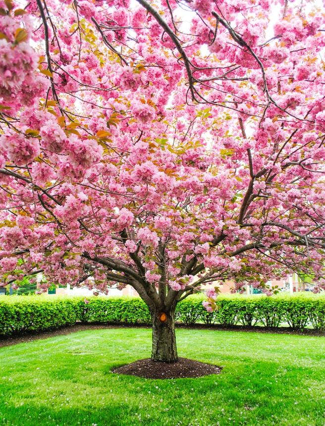Kwanzan cherry tree in Garden City, NY. Photo by Alyson Goodman.