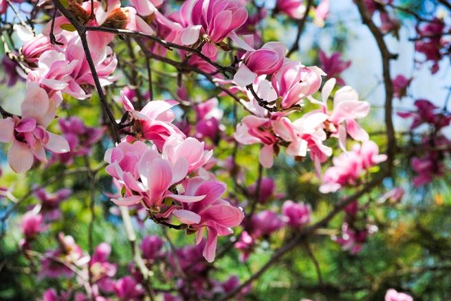 Magnolias at Clark Botanic Garden in Albertson, NY. Photo by Alyson Goodman.