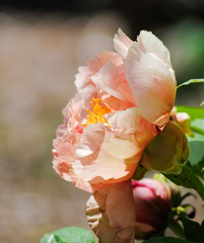 Peony at Clark Botanic Garden in Albertson, NY. Photo by Alyson Goodman.