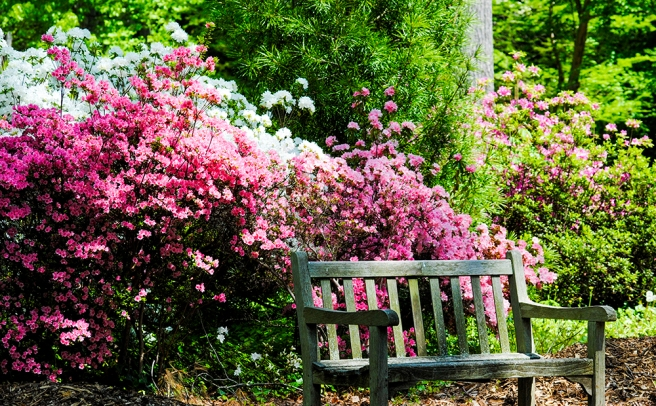 Rhododendrons at Clark Botanic Garden in Albertson, NY. Photo by Alyson Goodman.