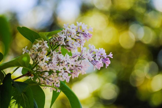 Lilac at Clark Botanic Garden in Albertson, NY. Photo by Alyson Goodman.